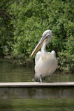 Pink-backed Pelican Royalty Free Stock Images