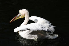 Pink backed pelican. A pink backed pelican swimming and shaking water off his back stock photography