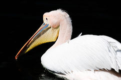 Pink backed pelican. A pink backed pelican swimming with water droplets on his beak stock photo