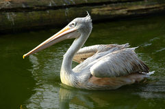 Free Pink-backed Pelican Stock Photos - 23689923
