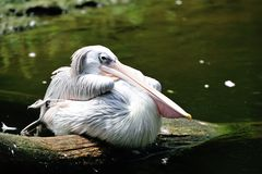 Pink-backed pelican Stock Photos