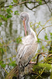 Pink-backed Pelican Stock Photo
