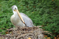 Pink-backed pelican. The pink-backed pelican sitting in the nest royalty free stock images