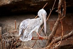 Pink backed pelican birds Stock Images