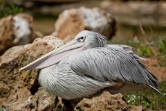 Pink-backed Pelican. Close view of a Pink-backed Pelican bird on a zoo stock photo