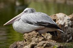 Pink-backed Pelican. Close view of a Pink-backed Pelican bird on a zoo stock photography