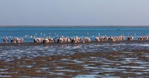 Pink-backed pelican colony in Walvis bay, Namibia. Pink-backed pelican and rosy flamingo colony in Walvis bay, Namibia safari wildlife stock image