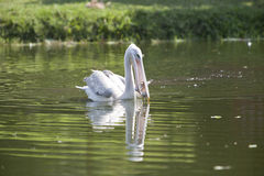 Pink backed pelican fishing. A pink backed pelican catching fish royalty free stock photo