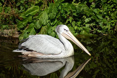 Pink Backed Pelican. Floating in the water royalty free stock images