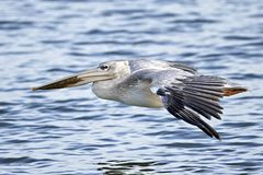 Pink-backed pelican Pelecanus rufescens. Pink-backed pelican in its natural habitat in The Gambia stock photography