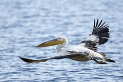 Pink-backed pelican Pelecanus rufescens. Pink-backed pelican in its natural habitat in The Gambia stock image