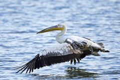 Pink-backed pelican Pelecanus rufescens. Pink-backed pelican in its natural habitat in The Gambia royalty free stock image