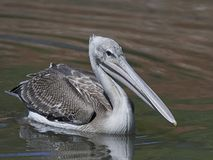 Pink-backed pelican Pelecanus rufescens. Pink-backed pelican in its natural habitat in The Gambia stock images