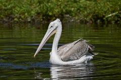 Pink-backed pelican Pelecanus rufescens. Pink backed pelican in its natural habitat stock photos
