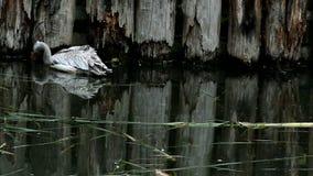 Pink-backed pelican (lat. Pelecanus rufescens) stock video footage