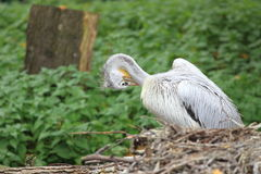 Pink-backed pelican. The pink-backed pelican in the nest stock photo