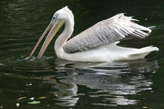 Pink-backed Pelican (Pelecanus rufescens) Royalty Free Stock Images