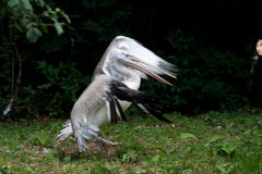 Pink-backed Pelican (Pelecanus rufescens) Stock Photography
