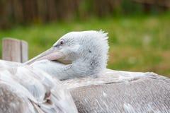 Pink-backed Pelican (Pelecanus rufescens) Stock Images