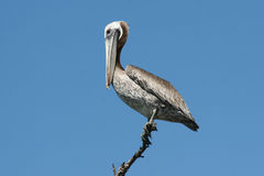 Pink-backed Pelican (Pelecanus Rufescens) Royalty Free Stock Photo