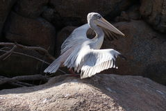 Pink-backed Pelican - Pelecanus rufescens Royalty Free Stock Photos