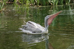 Pink-backed Pelican - Pelecanus rufescens Stock Image