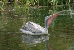 Pink-backed Pelican - Pelecanus rufescens Stock Image