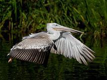 Pink-backed pelican (Pelecanus rufescens). Pink-backed pelican in fligth with vegetation in the background royalty free stock image