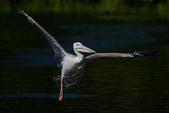 Pink-backed pelican (Pelecanus rufescens). Pink-backed pelican in fligth with water and vegetation in the background stock photography