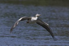 Pink-backed pelican Pelecanus rufescens. Pink-backed pelican in its natural habitat in The Gambia stock photos
