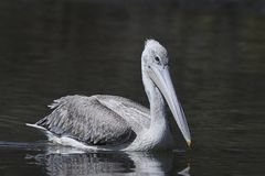 Pink-backed pelican Pelecanus rufescens. Pink-backed pelican in its natural habitat in The Gambia royalty free stock photography