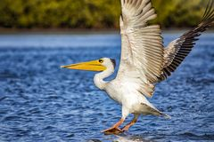 The Pink-backed Pelican or Pelecanus rufescens is lands on the surface in the sea lagoon in Africa, Senegal. It is a wildlife. Photo of bird in wild nature stock photos