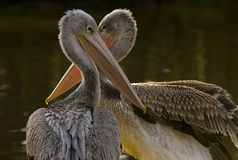Pink-backed pelican (Pelecanus rufescens) Stock Photos