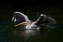 Pink-backed pelican Pelecanus rufescens. Pink-backed pelican with open wings in its natural habitat royalty free stock photos