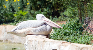 Pink-Backed Pelican (Pelecanus rufescens) in a park Stock Images