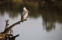 Pink-backed pelican stock images