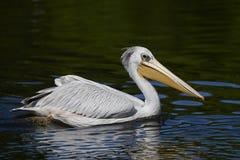 Pink-backed pelican Pelecanus rufescens. Pink backed pelican in its natural habitat royalty free stock photo