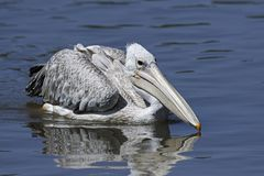 Pink-backed pelican Pelecanus rufescens. Pink-backed pelican in its natural habitat in The Gambia royalty free stock photos