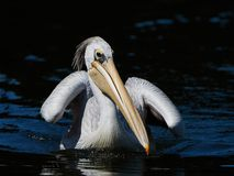 Pink-backed pelican Pelecanus rufescens. Pink backed pelican swimming in water looking for food royalty free stock photography