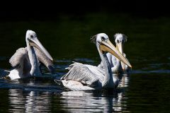 Pink-backed pelican Pelecanus rufescens. Pink-backed pelicans swimming in their natural habitat Stock Photography