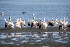 Pink-backed pelican, Pelecanus rufescens, Walvis bay, Namibia. The Pink-backed pelican, Pelecanus rufescens, Walvis bay, Namibia stock photography