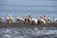 Pink-backed pelican, Pelecanus rufescens, Walvis bay, Namibia. The Pink-backed pelican, Pelecanus rufescens, Walvis bay, Namibia stock photos