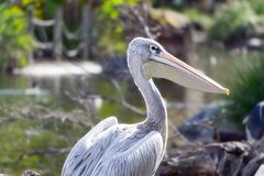 Pink Backed Pelican at the San Diego Zoo stock image