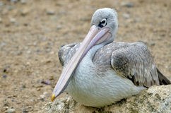 Pink-backed Pelican seating on rock Stock Photography