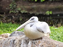 Pink-backed pelican. Sitting on a stone royalty free stock photos
