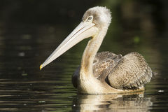 Pink-backed Pelican Royalty Free Stock Image