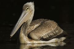 Pink-backed Pelican Royalty Free Stock Photos