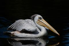 Pink-backed pelican Pelecanus rufescens. Pink backed pelican swimming in water looking for food stock photos