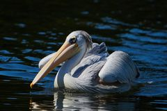 Pink-backed pelican Pelecanus rufescens royalty free stock photos