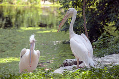 Pink Backed Pelicans couple. Stock Photos